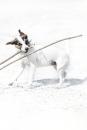 Jack Russell terrier Eppel