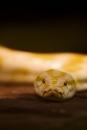 De albino tijgerpython
