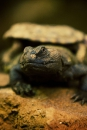 De schildhagedis met een spleetschildpad op zijn rug