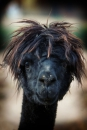 De Zuid-Amerikaanse alpaca