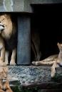 De leeuw met zijn vrouwen