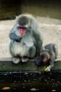 Japanse Makaken op de apenrots
