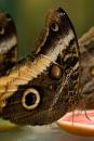 De Uilvlinder